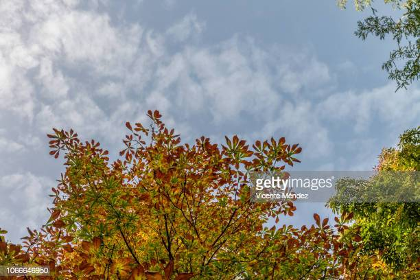 autumn leaves in the treetops - vicente méndez fotografías e imágenes de stock