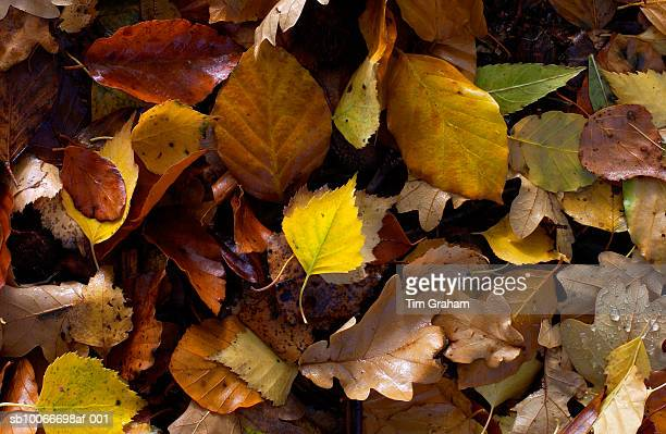 Autumn Leaves in Woodland, England
