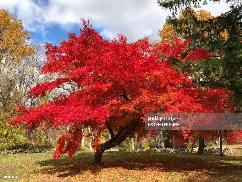 Autumn leaves, Japanese Maple, vibrant red tree leaves details : Stock Photo