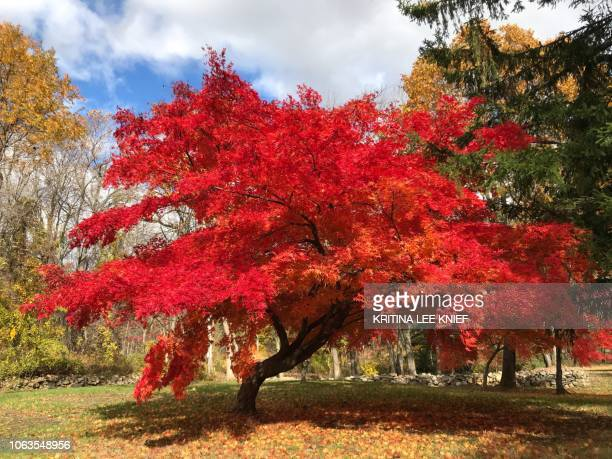 Autumn leaves, Japanese Maple, vibrant red tree leaves details