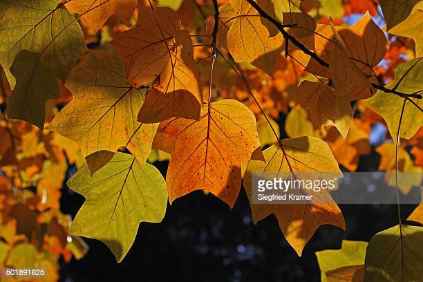 Autumn leaves, leaves of a tulip tree -Liriodendron tulipifera-, Mainau island, Baden-Wuerttemberg, Germany, Europe