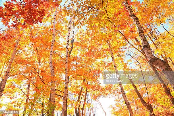 Autumn leaves, Nagano Prefecture, Japan