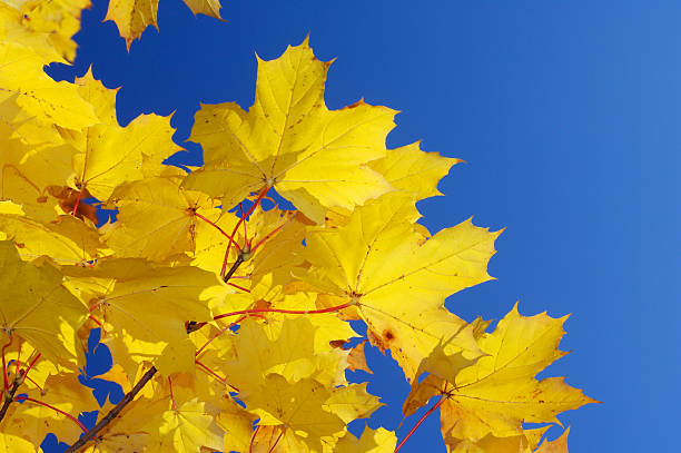 Autumn Leaves Of A Norway Maple (Acer Platanoides) Wall Art