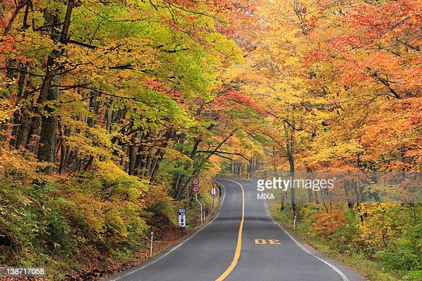 autumn leaves of beech forest at mount daisen, daisen, tottori, japan - tottori prefecture stock photos and pictures