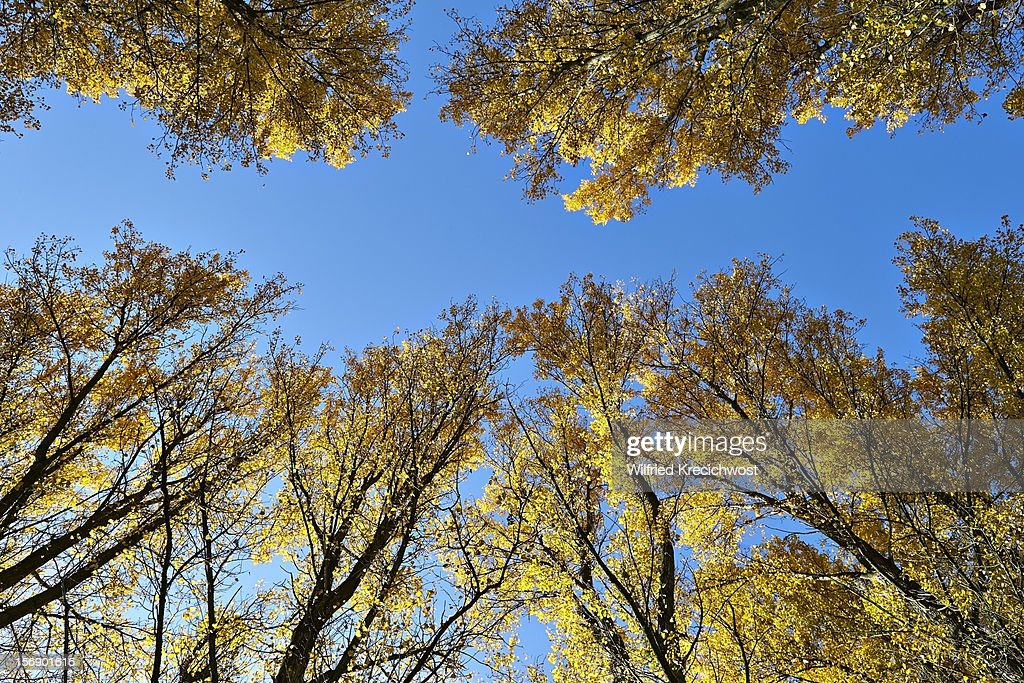 Autumn leaves of poplar trees against a blue sky : Stock Photo
