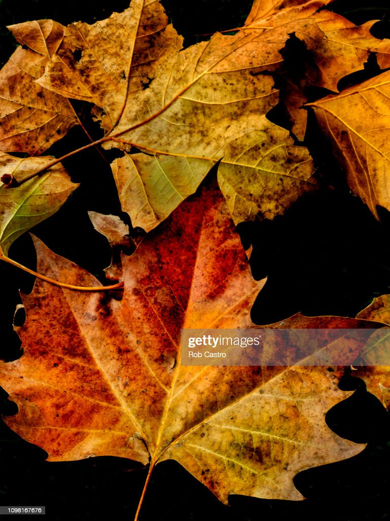 Autumn Leaves of Sycamore : Stock Photo