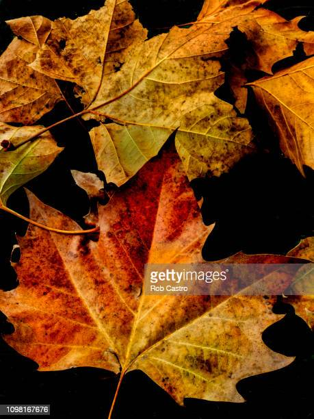 Autumn Leaves of Sycamore