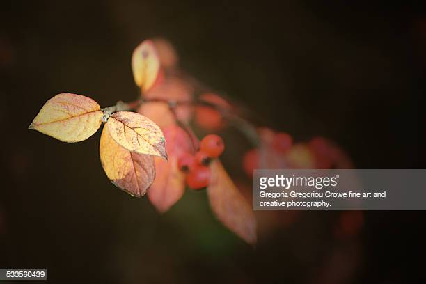 autumn leaves on branch - gregoria gregoriou crowe fine art and creative photography. stock photos and pictures