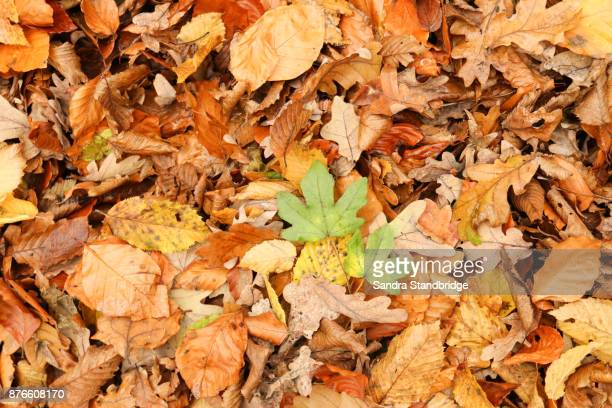 Autumn leaves on the ground in Bencroft Woods in Hertfordshire, UK.