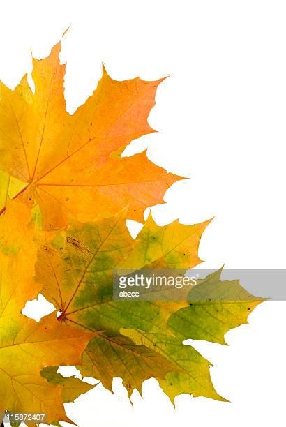 秋の落ち葉に白背景