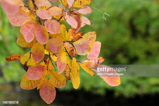 autumn leaves - wellesley massachusetts stock pictures, royalty-free photos & images