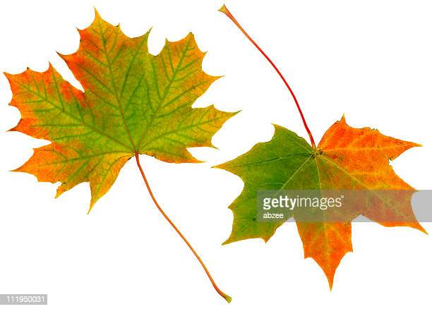 autumn leaves - sycamore tree stock photos and pictures