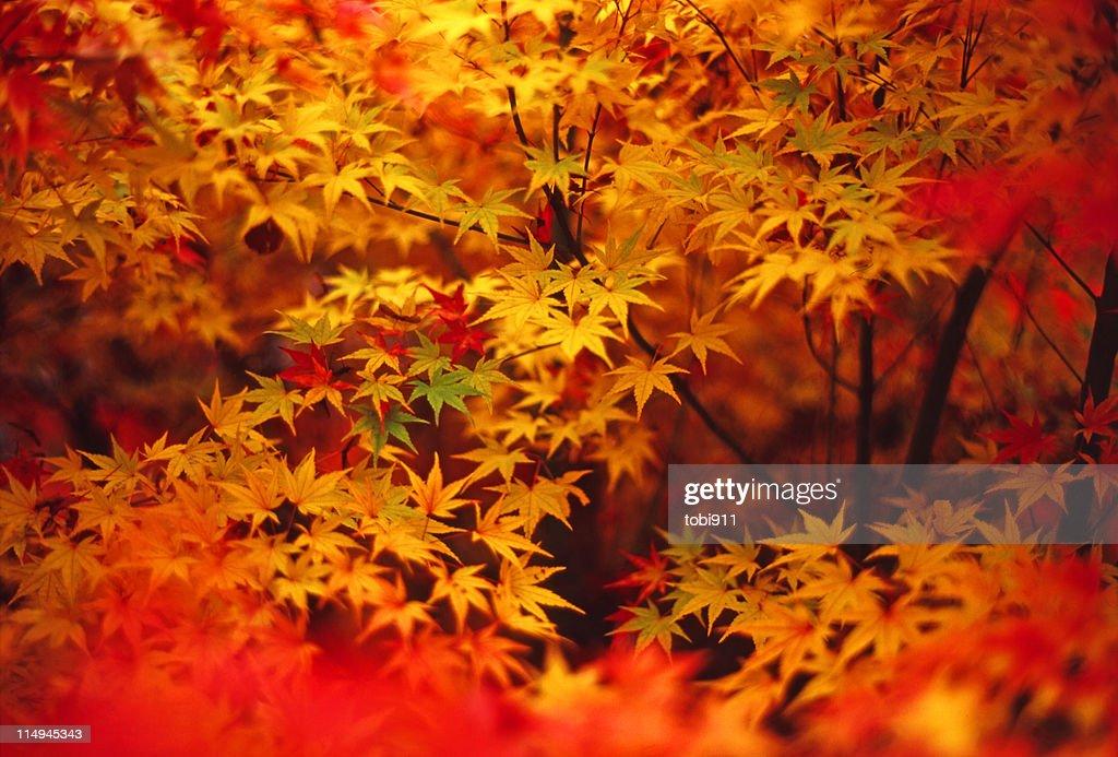 Autumn leaves : ストックフォト