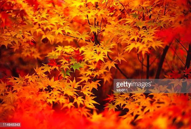 autumn leaves - autumn leaf color stock pictures, royalty-free photos & images