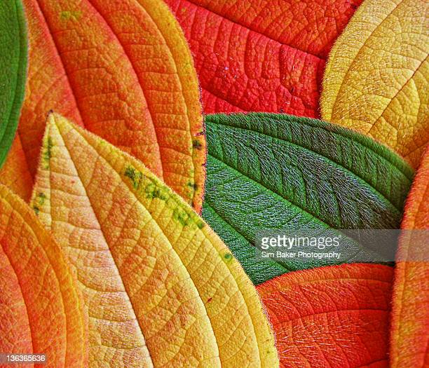 autumn leaves - launceston australia stock pictures, royalty-free photos & images