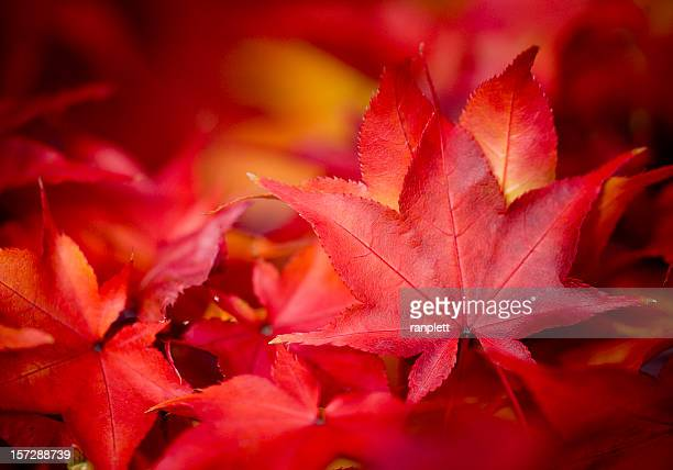 autumn leaves - maple tree stock pictures, royalty-free photos & images