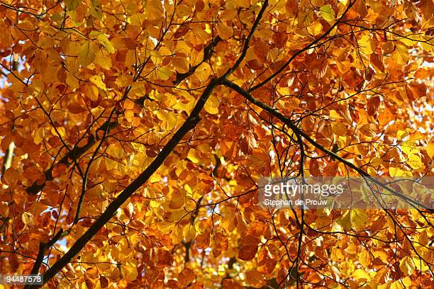 autumn leaves - stephan de prouw stock pictures, royalty-free photos & images
