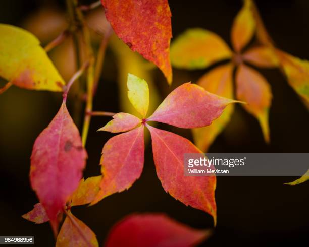 autumn leaves - william mevissen stock pictures, royalty-free photos & images