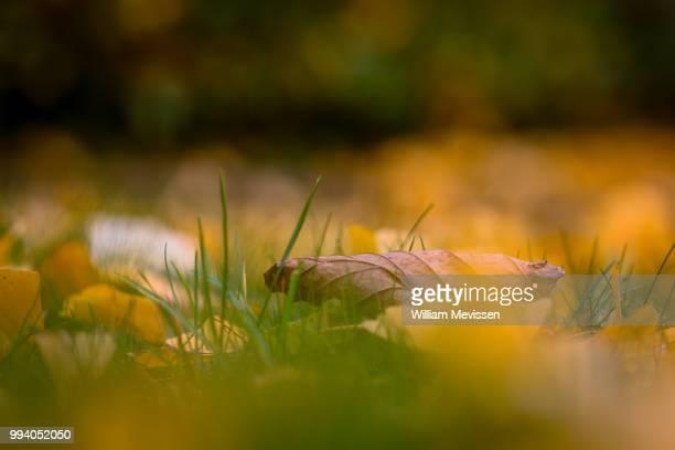 autumn leaves - william mevissen stockfoto's en -beelden
