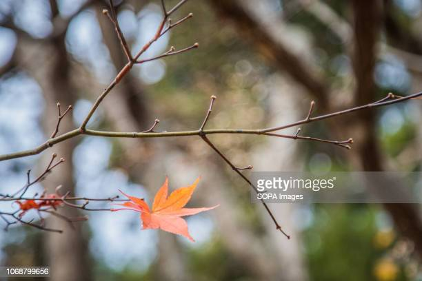 Autumn leaves seen during fall season in kyoto japan