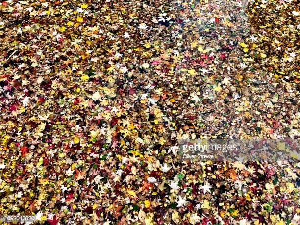 autumn leaves sit top freshwater lake