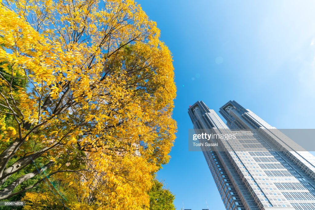 Autumn leaves tree stands next to The Tokyo Metropolitan Government Building at Shinjuku Subcenter Nishi-Shinjuku, Tokyo Japan on November 24 2017. : Stock Photo