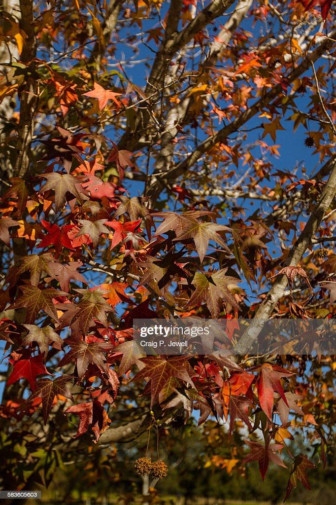 Autumn liquidambar leaves : Stock Photo