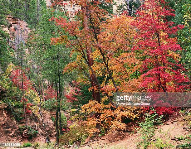 Autumn Maple along the West Fork of Oak Creek in the Coconino National Forest West Fork is located between Sedona and Flagstaff in Northern Arizona