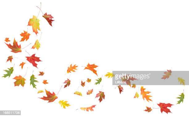 acero autunno foglie di quercia e soffiare nel vento - foglia di quercia foto e immagini stock