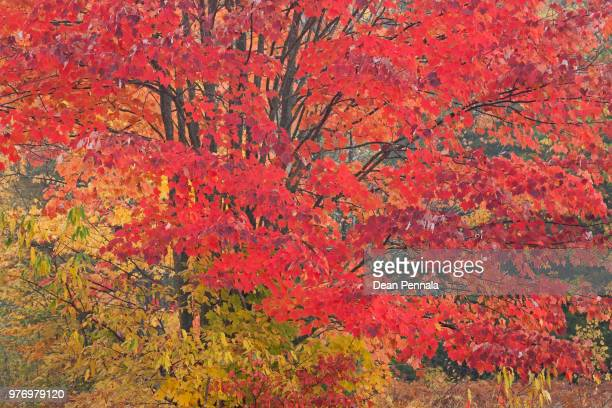 autumn maple, hiawatha national forest - hiawatha national forest stock pictures, royalty-free photos & images