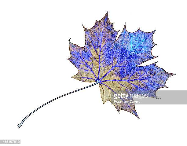 Autumn maple leaf in surreal colours.