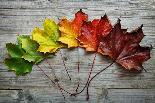 Autumn Maple leaf transition 593330056