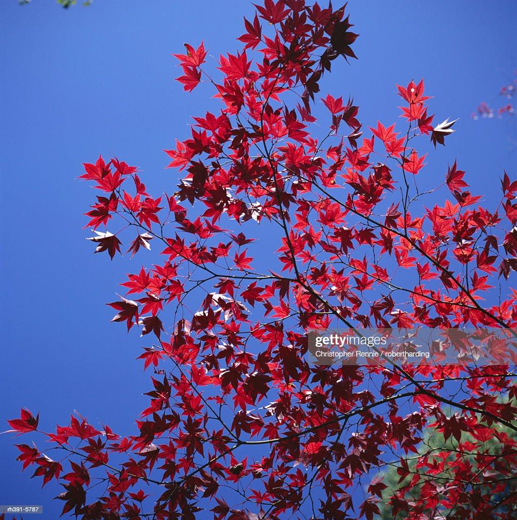 Autumn maple leaves against a blue sky, Kinkaku-ji 'Golden' Temple garden, Kyoto, Kansai, Japan, Asia : Stockfoto