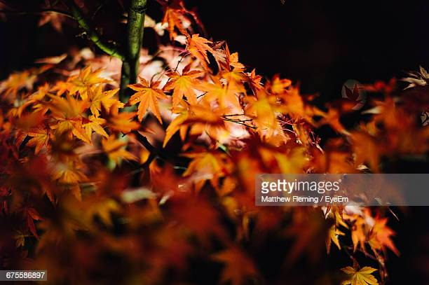 Autumn Maple Leaves At Night