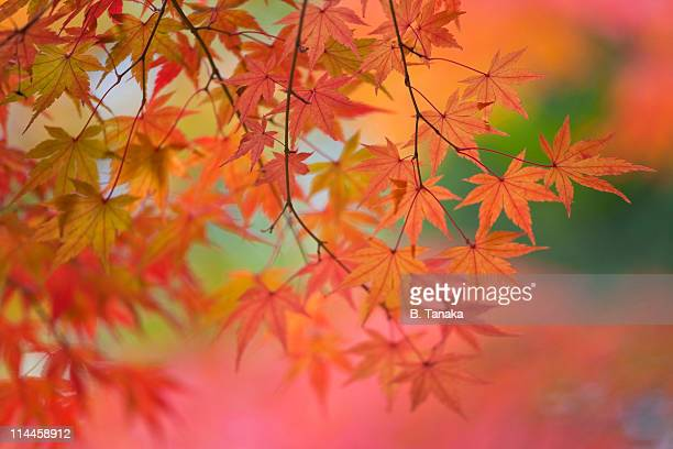 Autumn Maple Leaves in Kyoto, Japan