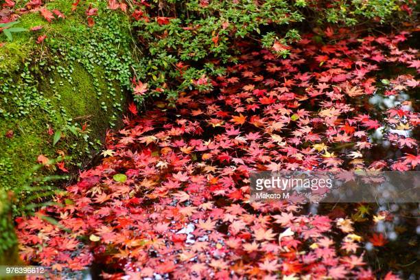 autumn maple leaves in pond, kanagawa prefecture, japan - kanagawa prefecture stock pictures, royalty-free photos & images