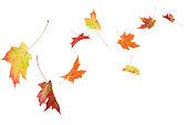 Autumn maple leaves isolated