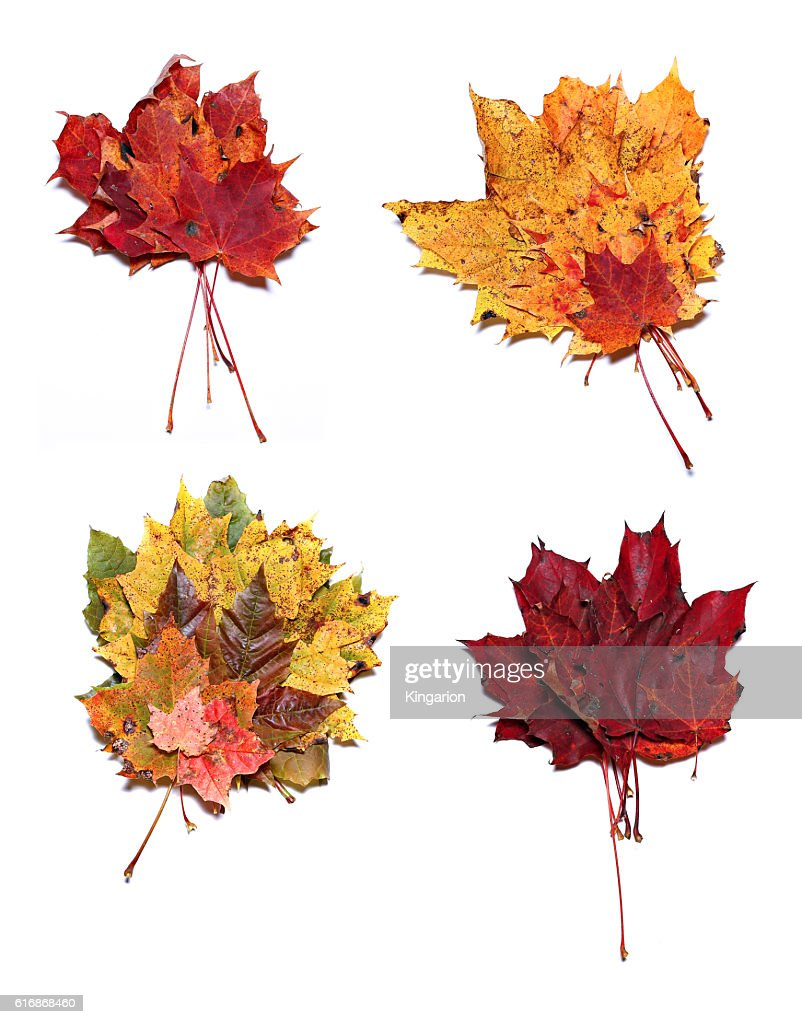 Autumn maple leaves isolated : Stock Photo