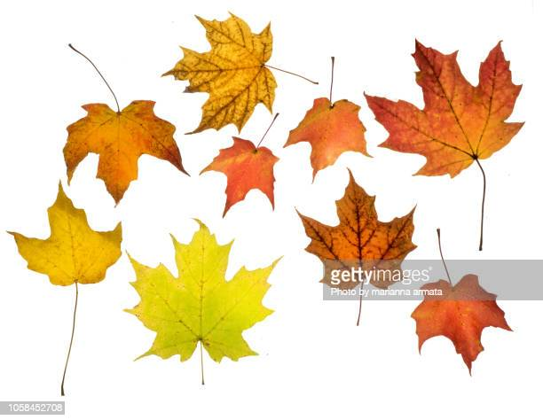 autumn maple leaves - leaves stock photos and pictures