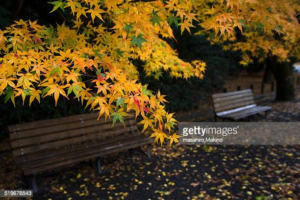Autumn Maple Trees in the Park