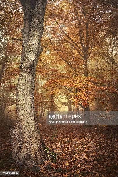 Autumn misty beech trees