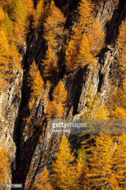 autumn mountain larch forest (larix decidua) vals, valstal, south tyrol, italy - european larch stock pictures, royalty-free photos & images