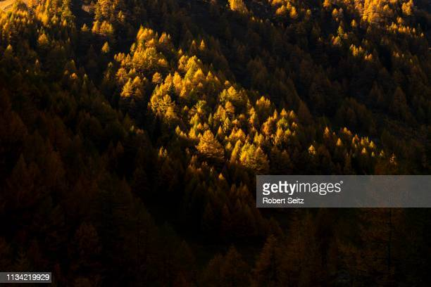 autumn mountain larch forest (larix decidua) with light and shade, vals, valstal, south tyrol, italy - european larch stock pictures, royalty-free photos & images
