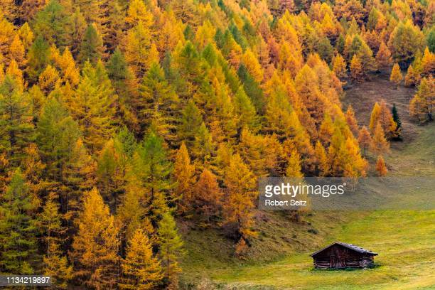 autumn mountain larch forest (larix decidua) with small mountain hut in a meadow, vals, valstal, south tyrol, italy - european larch stock pictures, royalty-free photos & images