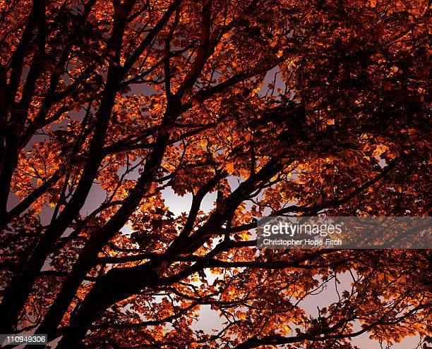 autumn night - sycamore tree stock photos and pictures