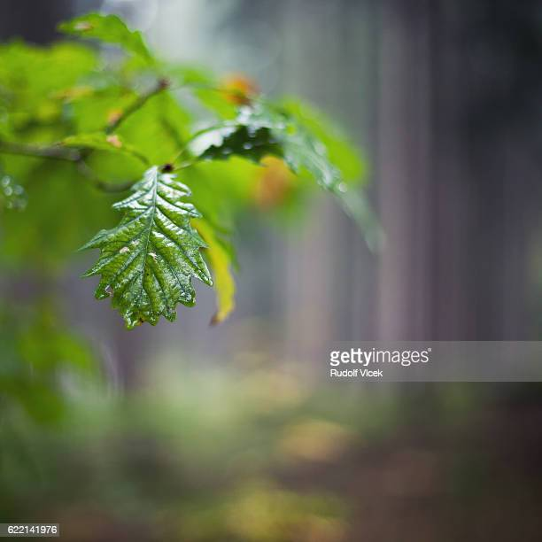 Autumn oak tree foliage detail with blurred forest in background