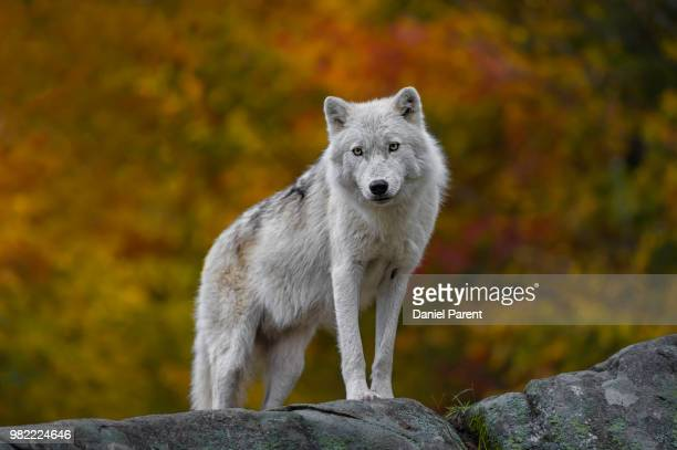 autumn observer... - arctic wolf stock photos and pictures