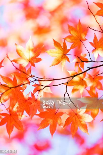 Autumn Orange Leaves With Morning Sunlight