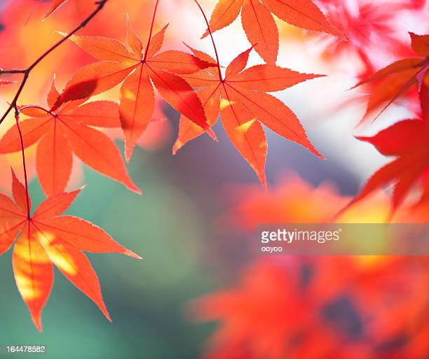 Autumn Orange Leaves With Sunlight