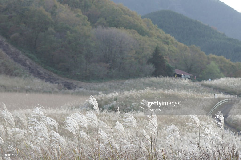 Autumn Pampas of Soni Highland-Nara pref.Japan : Stock Photo